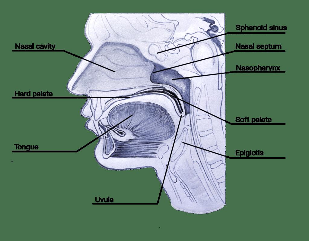 The anatomy of Khecari Mudra