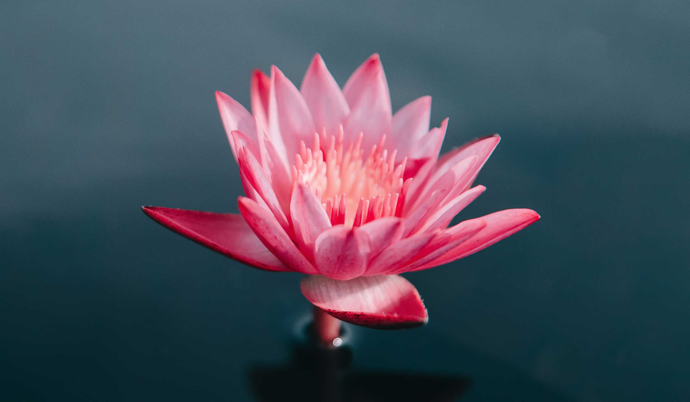A lotus flower symbolising the unfolding from a holistic yoga practice.